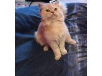 MISSING CAT £150 REWARD