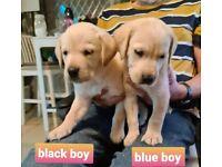 Beautiful Labrador Puppies