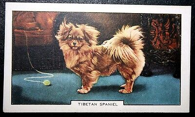Tibetan Spaniel   Original 1930's Vintage Coloured Card  # VGC