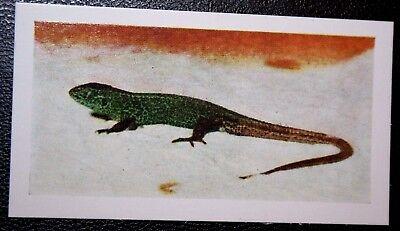 SAND LIZARD   Vintage Colour Photo Card # VGC