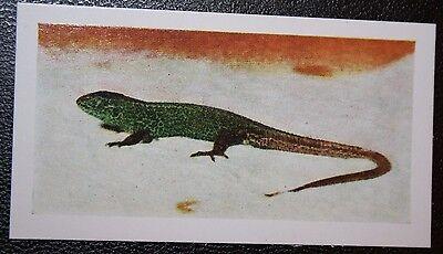 SAND LIZARD   Vintage Colour Photo Card  VGC