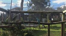 Baby Indian Ringneck Parrots Echunga Mount Barker Area Preview