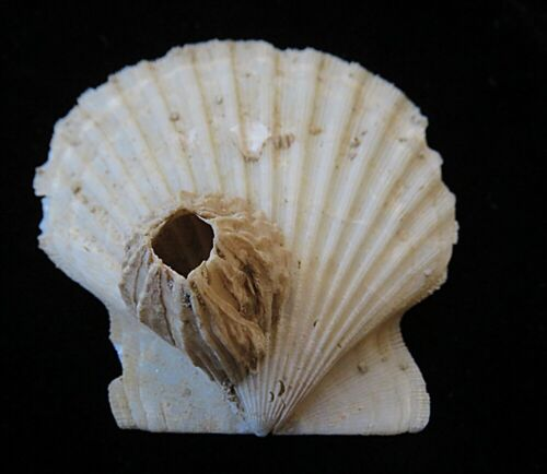 Fossilized Scallop with Barnacle - Chesapecten refrens- Calvert Cliffs, Maryland