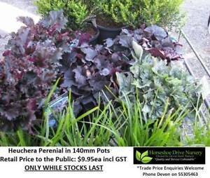 Heuchera Perenial Lovely Colour Mudgeeraba Gold Coast South Preview
