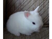 Bew netherland Dwarf baby rabbit