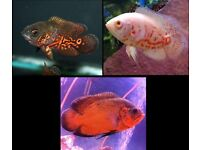 "3"" Oscars 