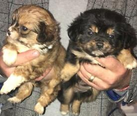 One chihuahua cross King Charles pup remaining?????