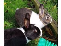 adorable Dutch Rabbits various ages come and choose.