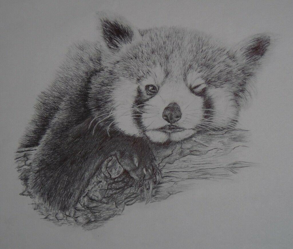 Red panda original pencil drawing in county antrim gumtree