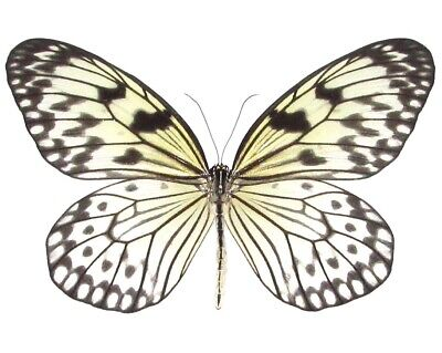 ONE REAL BUTTERFLY WHITE BLACK RICE PAPER IDEA LEUCONOE UNMOUNTED WINGS CLOSED