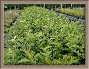 100 piante viburno lucido pianta da siepe cespugli da for Pianta fiorita da esterno