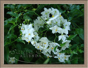 Solanum jasminoides pianta solanum piante solanum bianco for Pianta solanum