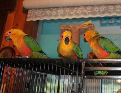 FRIENDLY, HAND RAISED BABY JENDAY CONURE PARROTS for sale Lachlan Derwent Valley Preview