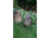 Japanese quail for sale male &female available