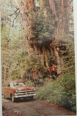 World Largest Red Cedar Olympic National Park Washington Car Guy Postcard (A153) Red Cedar Cat