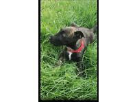 Last terrier pup