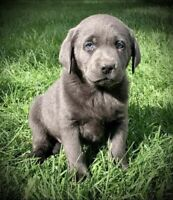 Silver Charcoal Champagne Labrador Silver Lab Puppies coming!!!