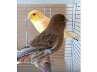 A beautiful pair of canaries
