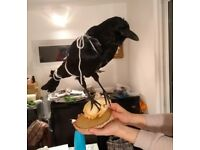 taxidermy crow raven mounted bird mounted onto racoon scull