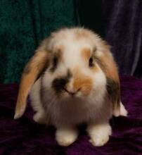 Mini lop Bucks- Blue chinchilla  and a Tri Harlequin Sydney City Inner Sydney Preview