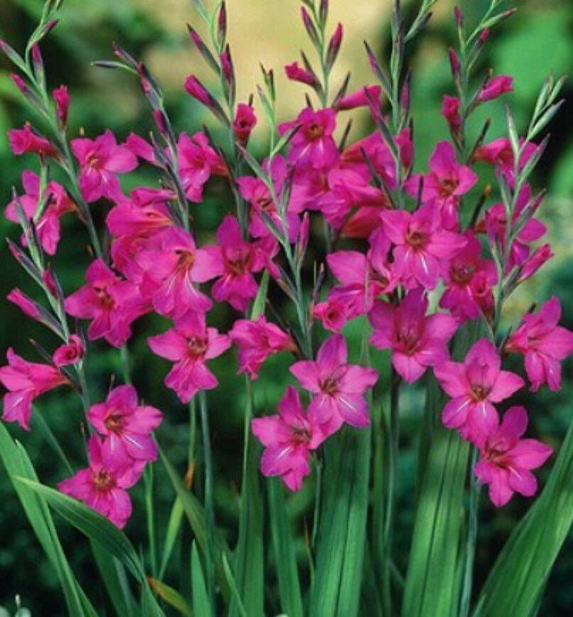 10, 25 o. 50 Winterharte Wild Gladiolen byzantinus Blumenzwiebeln