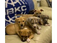ABKC XL AMERICAN BULLY PUPS