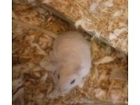 Freddie, male Gerbil