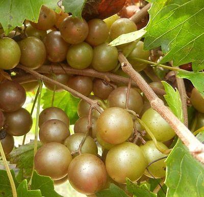 Vitis - 'Higgins' - Muscadine Grape