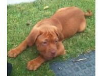 dogue de bordeux puppies