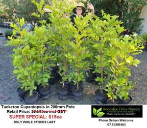 Tuckeroo Cupaniopsis Shade Tree Plants SUPER SPECIAL 200MM pots Mudgeeraba Gold Coast South Preview