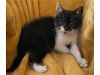 Last 3 Black smoke tabby x kittens ready for exceptional loving homes
