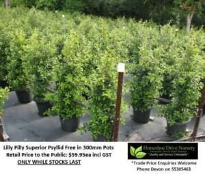 We Are LILLY PILLY SYZYGIUM SPECIALISTS!  Hedging Privacy HS099 Mudgeeraba Gold Coast South Preview