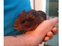 Baby guinea pigs for sale boys and girls