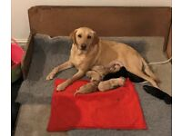 Beautiful KC Registered labrador Puppies Yellow and Black