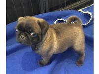 Pug KC registered male and female platinum