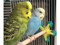 2 Budgerigar & Cage