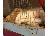 2 female Guinea pigs .