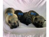 German shepherd puppies 3 boys 1girl left