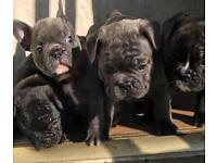 Kc French bulldog puppies for sale