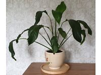 3 x Peace Lily plants in pots