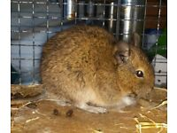2 friendly degus with large cage