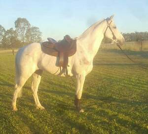 Lovely Grey Stock Horse Gelding Toowoomba Toowoomba City Preview