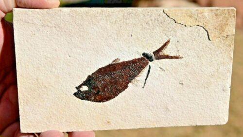 Fossil Fish, Diplomystus dentatus 3.65 inches, GRF, Kemmerer, Wyoming, U.S.A.