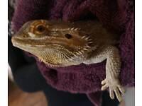 Bearded Dragon with vavarium