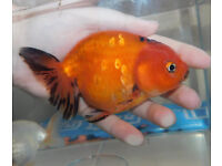 Large Ranchu Fancy Goldfish!