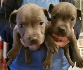Blue Staffie Puppies Ready To Go Now, Only Two Left, Champion Bloodlines