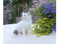 Pedigree Ragdoll Kittens for sale Registered with GCCF