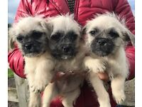 pug cross shihtzu puppys