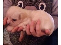 Chorkie cross shichi pup