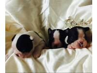 Beautiful kc registered Boston terrier puppies
